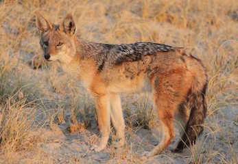 Aardwolf, Botswana