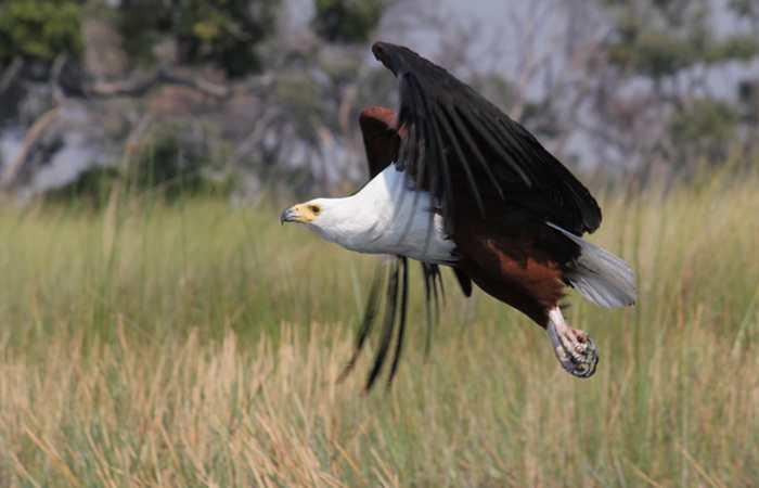 Fish eagle in flight, Botswana