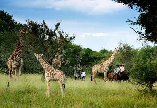 Watching giraffe on a horse riding safari