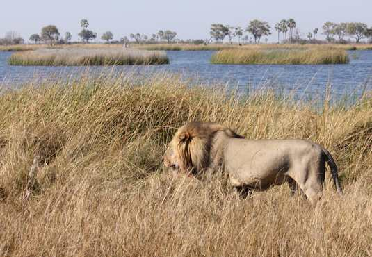 Lion in the Okavango Delta