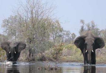 Elephant bulls, Botswana