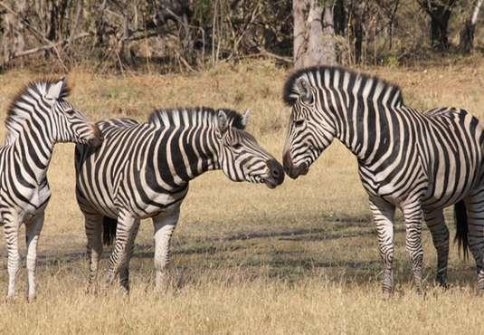 Zebras, Botswana