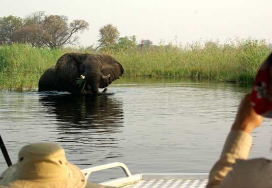 Elephant feeding on a boat cruise in the Okavango Delta
