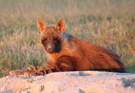 Brown hyena, Kalahari, Botswana