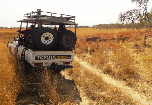 Lion pride spotted on game drive