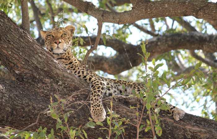 Leopard in tree, Botswana