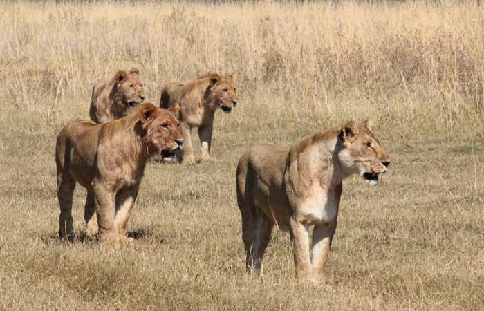 Lion pride, Botswana