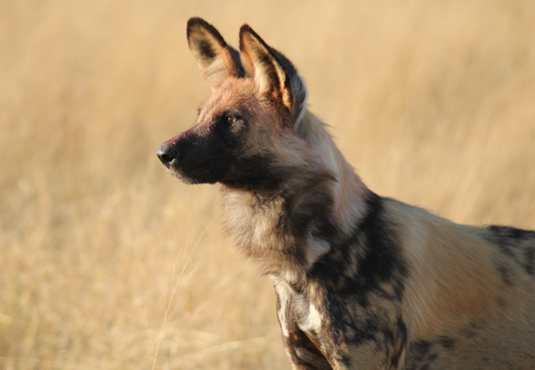Wild dog hunting for game, Botswana