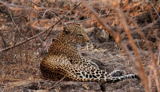 Leopardess, Kalahari