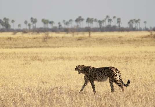 Cheetah, Makgadikgadi Pans