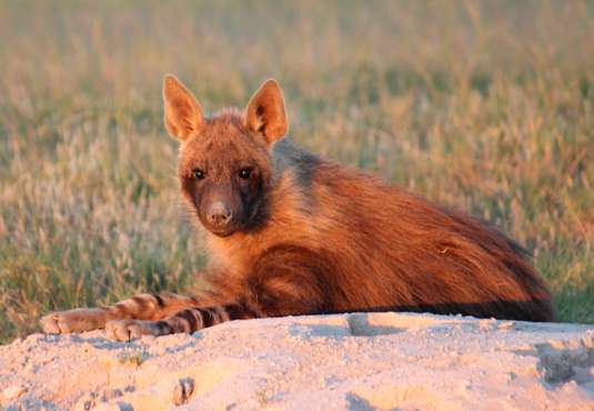 Brown hyena, Kalahari