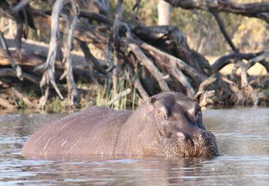 Hippo, canoe safari, Botswana