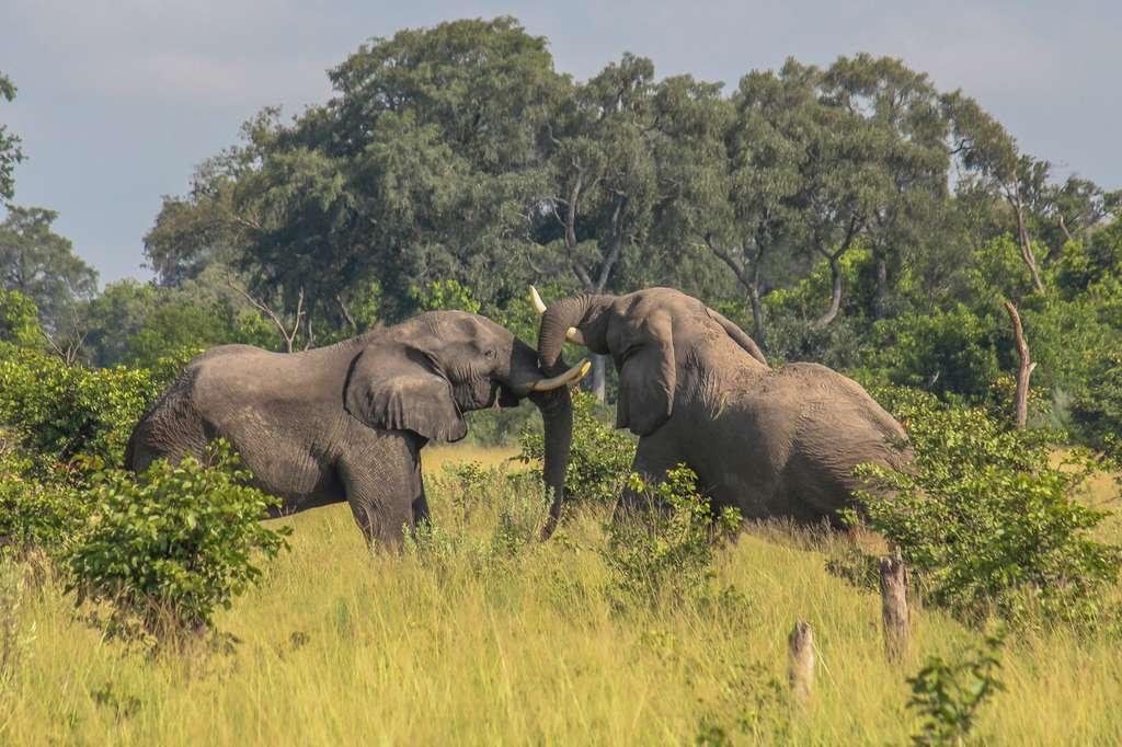 Elephants tussling Okavango Delta
