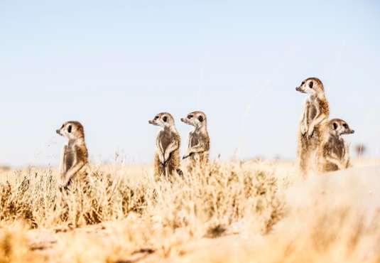 Meerkats, Jack's Camp