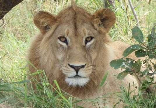 Lion resting, Kalahari