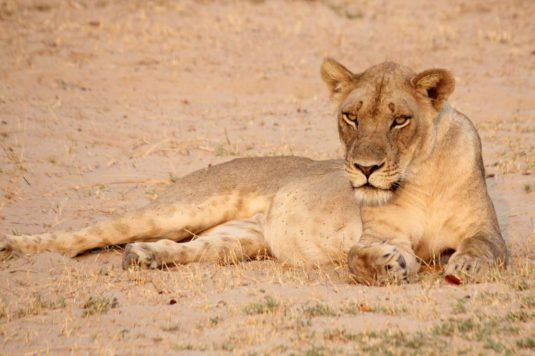 Lioness, Kalahari