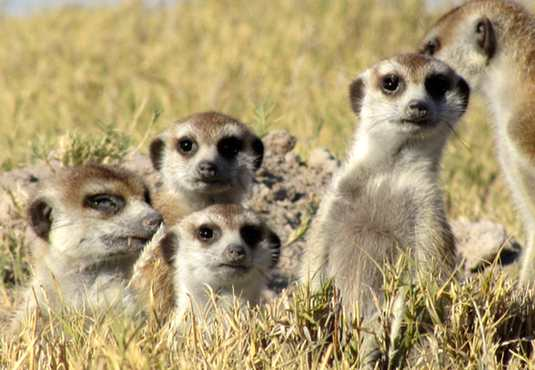 Meerkat group, Kalahari
