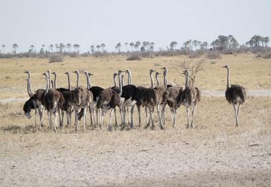 Ostriches, Kalahari