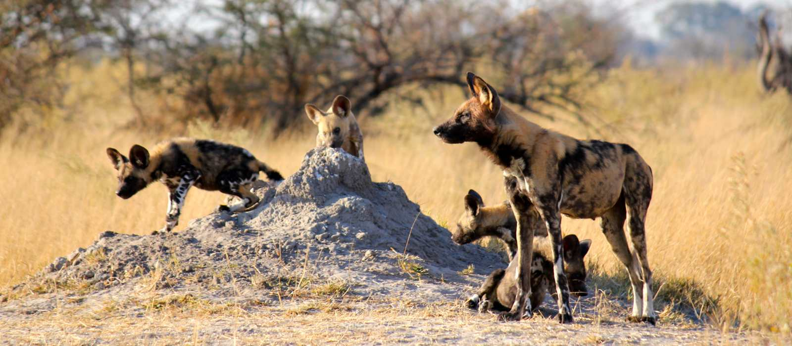 Wild dogs at termite mound