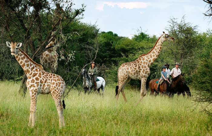 Watching giraffes on a Thamalakane daily ride