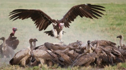 vultures-kill